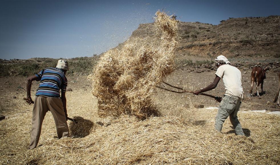 Det mesta av jordbruket är traditionellt och inte mekaniserat. Här tröskar 55-årige åttabarnspappan Waldo Hailo vete med sina söner i norra Etiopien.