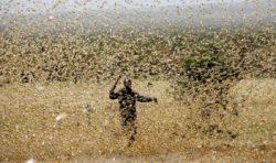 Massinvasion av gräshoppor