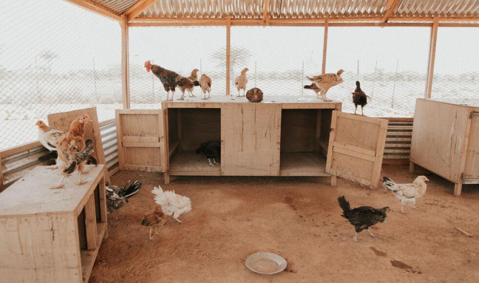 Det inkomstgenererande hönseriet i Balli Mataan gynnar både hönsuppfödarna och bysamhället, säger projektledaren Mohamed Faisal.