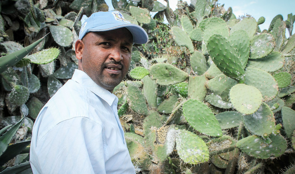 Desta Hadera är agronom och regional utvecklingschef på DASSC. Han säger att koschenillsköldlössens alarmerande spridning bland Tigray-regionens kaktusar har haft en förödande effekt för många invånare.